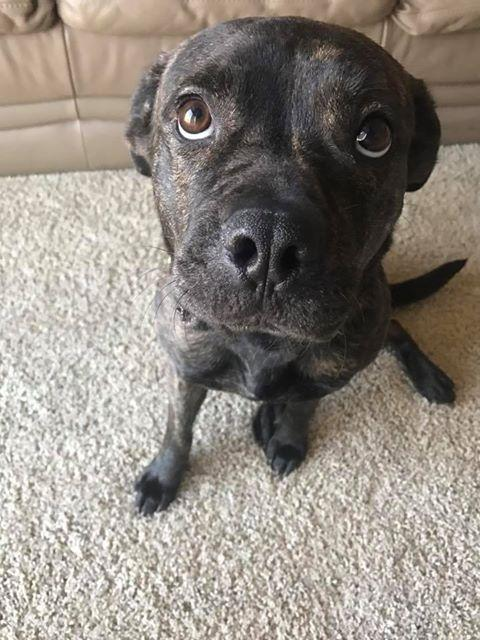 Tiki **Adoption Fee Waived**, an adopted American Staffordshire Terrier & Pit Bull Terrier Mix in Saint Paul, MN