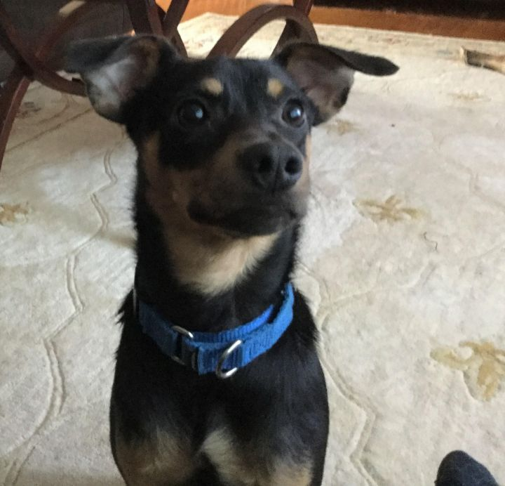 Comet, an adopted Miniature Pinscher in Albany, NY