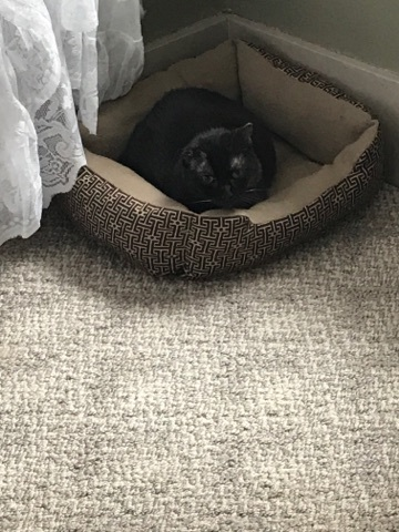 Buddy*ADOPTION*PENDING, an adoptable Domestic Short Hair in Waverly, IA
