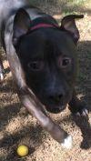 Mastiff Dog: Butch