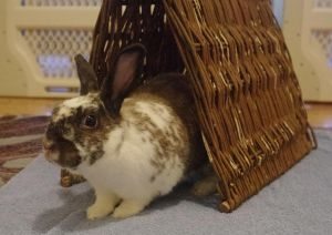 Ernie is a handsome medium-sized young bunny who was in bad shape upon being rescued apparently be