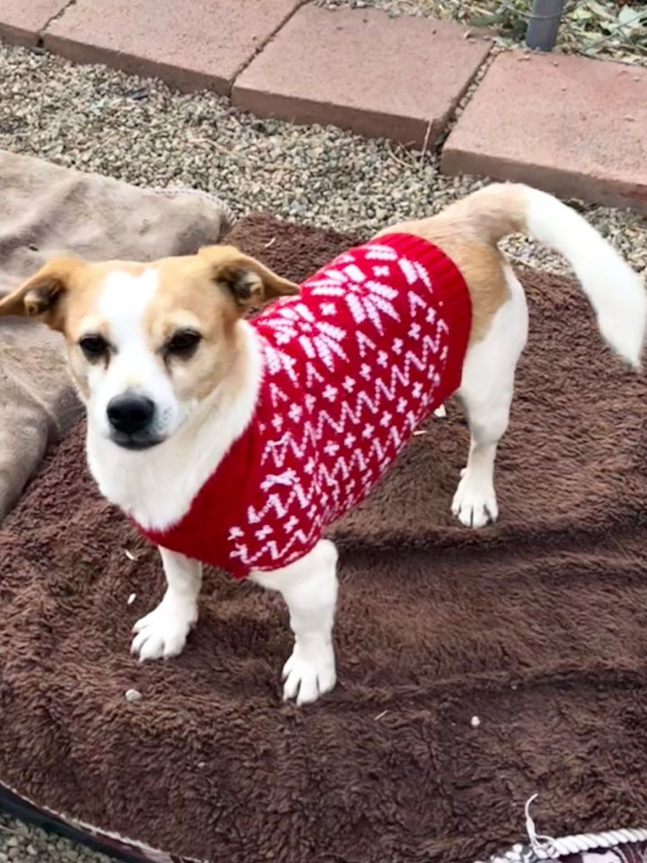 Tommy, an adoptable Jack Russell Terrier Mix in Acton, CA