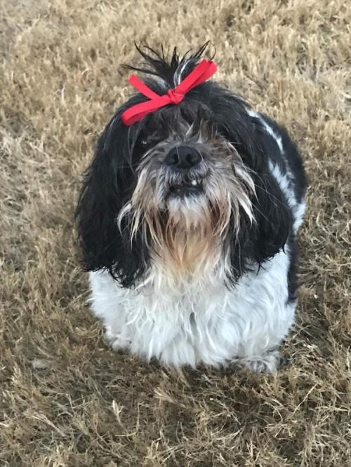 Molly, an adopted Shih Tzu Mix in Dallas, TX