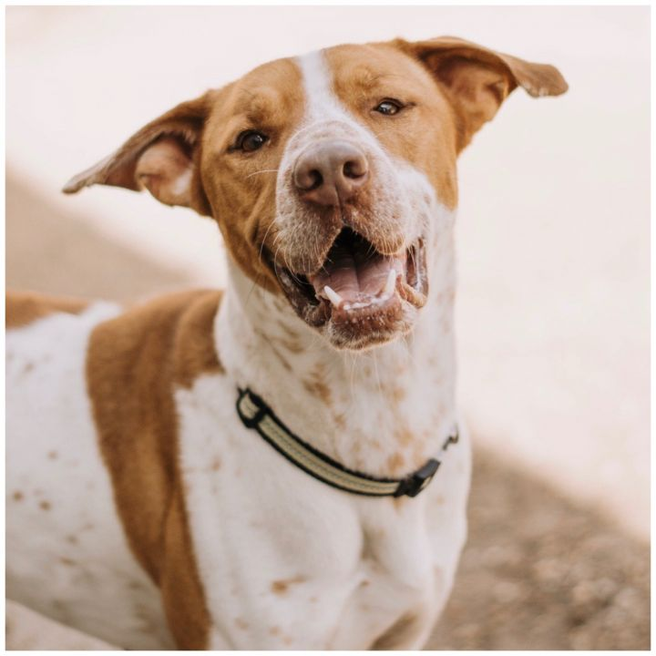 Tucker, an adoptable Pointer Mix in Kingwood, TX