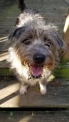 Wirehaired Pointing Griffon Dog: Kingston
