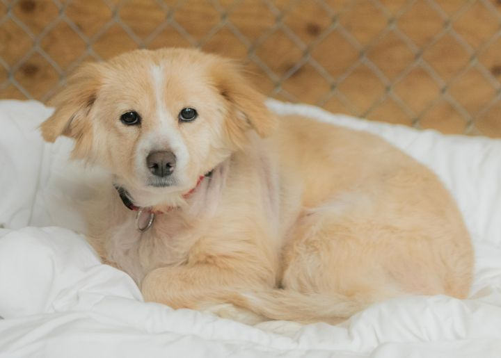 Sophie, an adopted Cocker Spaniel & Terrier Mix in Fort Smith, NT