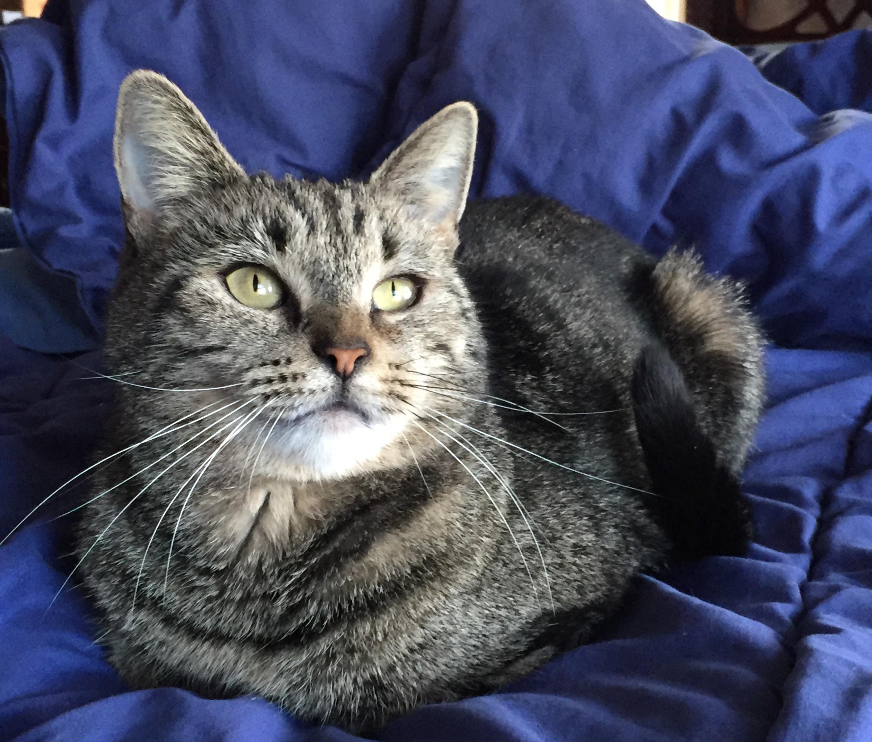 Cat for Adoption – Junie near Pleasant Valley CT
