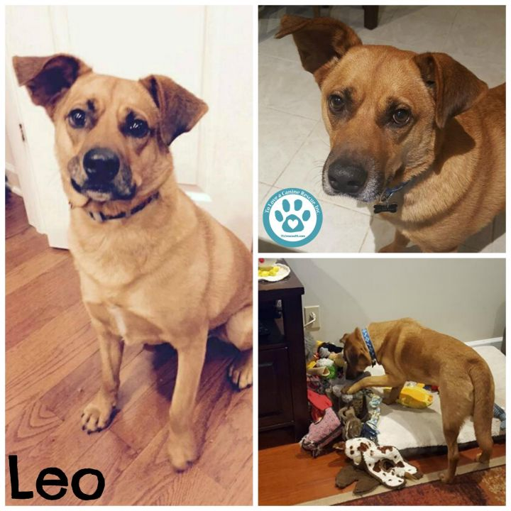 Leo, an adopted Shepherd & Hound Mix in Kimberton, PA