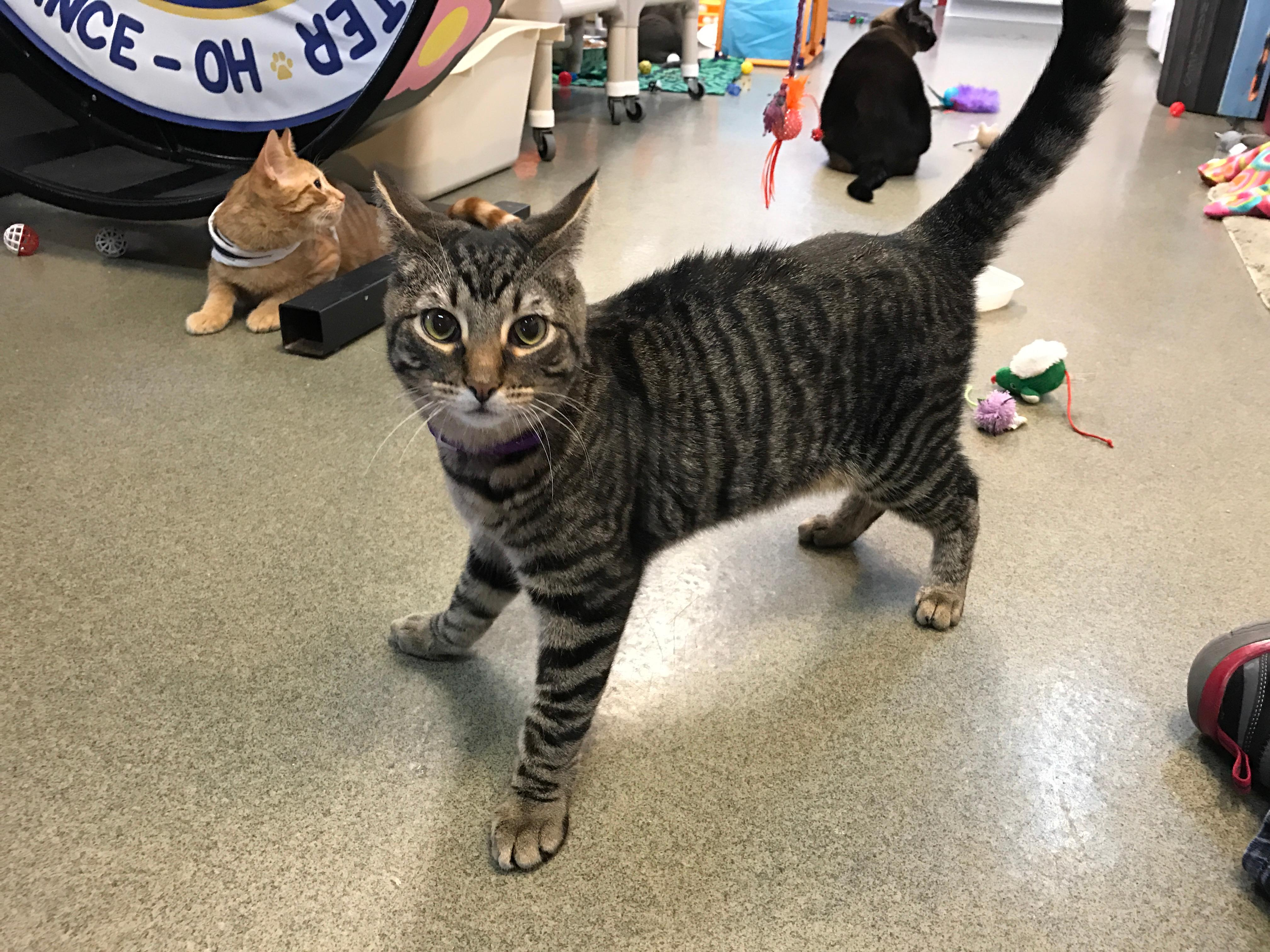 Cat for Adoption – Gavin near Defiance OH