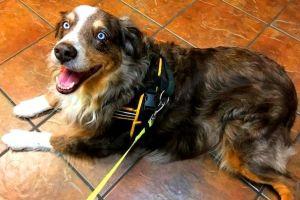 Dog for adoption - ARPH #13584 - Kiitos, an Australian Shepherd in