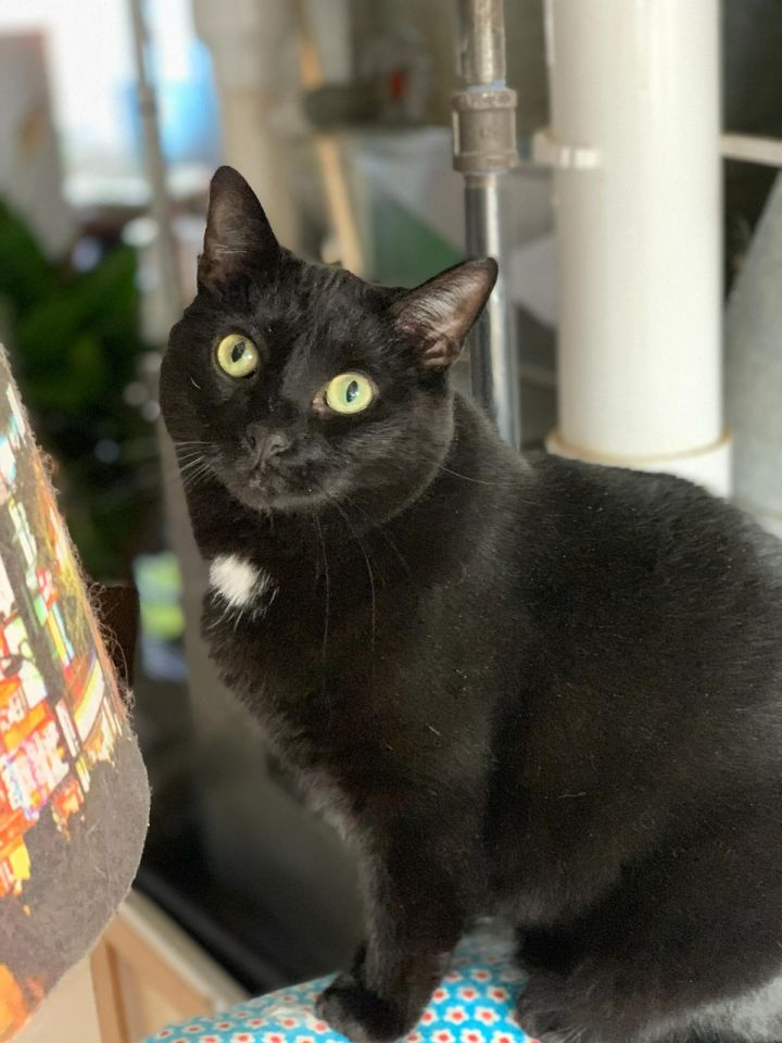 Rogue, an adoptable Domestic Short Hair in Chicago, IL