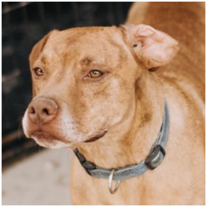 Zeuss, an adoptable Plott Hound & Staffordshire Bull Terrier Mix in Kingwood, TX