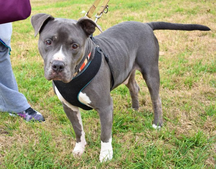 Buddy PH, an adopted American Staffordshire Terrier in Von Ormy, TX