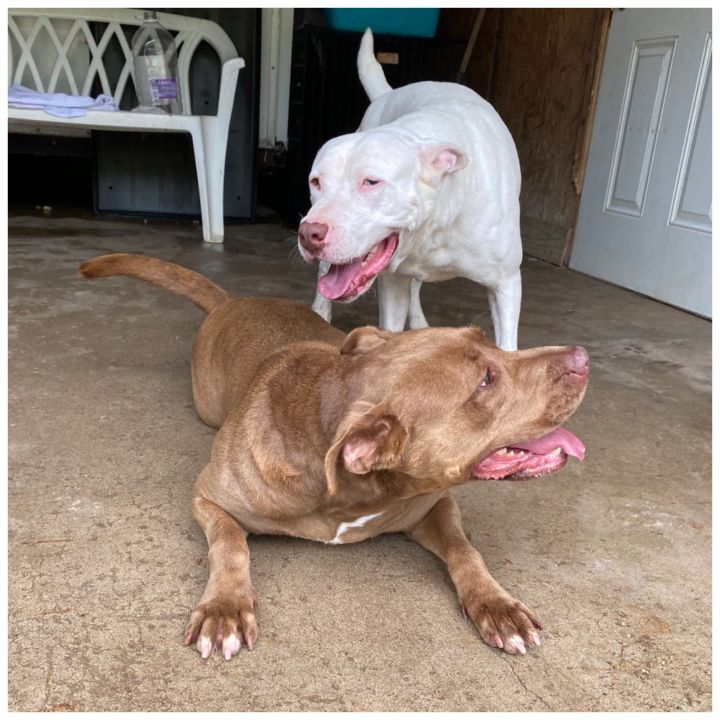 Bella, an adoptable American Staffordshire Terrier & Shar-Pei Mix in Kingwood, TX