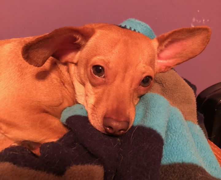 Piglet, an adoptable Dachshund & Chihuahua Mix in Monticello, GA