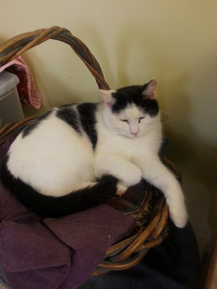 Cat For Adoption Oreo An American Shorthair In Blountville Tn Petfinder