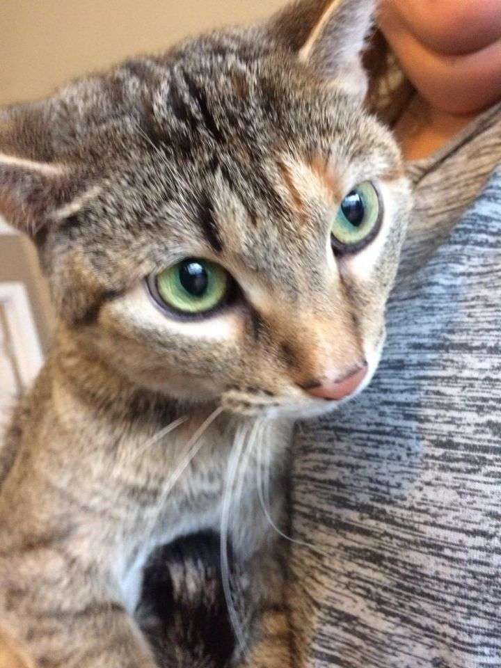 Sprinkles, an adopted Domestic Short Hair Mix in Madison, WI