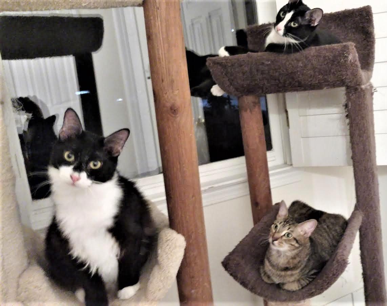 Cat for Adoption – Dexter near Atlanta GA