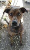 Doberman Pinscher Dog: Dexter (Referral)