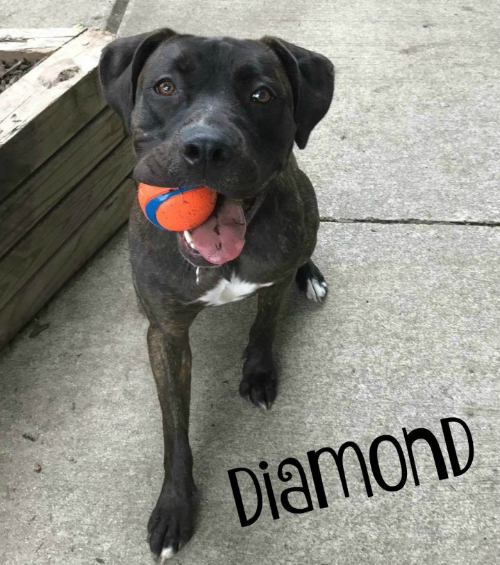 Diamond, an adopted Dogue de Bordeaux & Staffordshire Bull Terrier Mix in Northville, MI