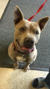 American Staffordshire Terrier Dog: Athena