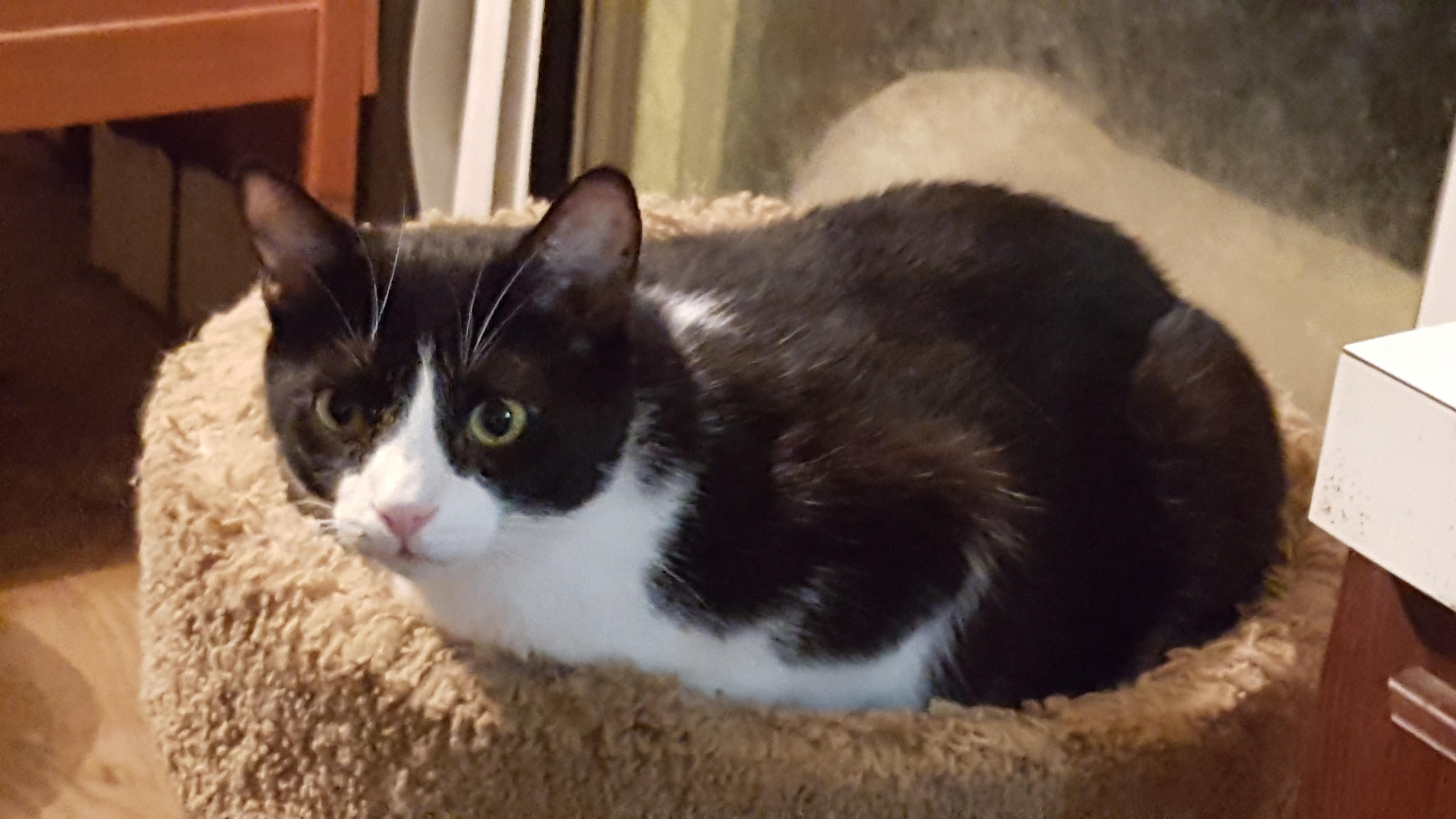 Cat for Adoption – SylvesterKitty (tuxedo boy), near Kaufman, TX ...