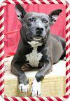 Bull Terrier Dog: Ruckus