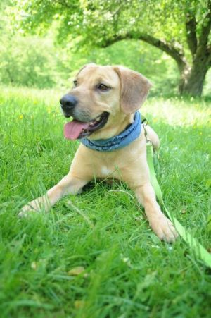 Oakley needs an experienced adopter looking for more for a working dog type temperament Oakley woul