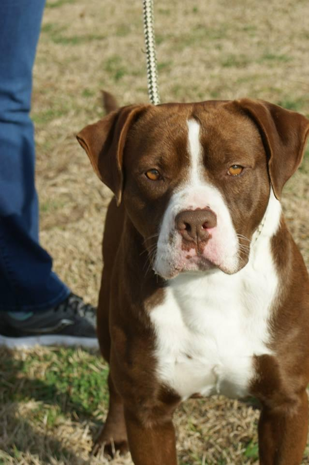 Ross, an adopted Staffordshire Bull Terrier & American Staffordshire Terrier Mix in Kinston, NC