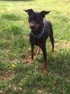 Miniature Pinscher Dog: Max