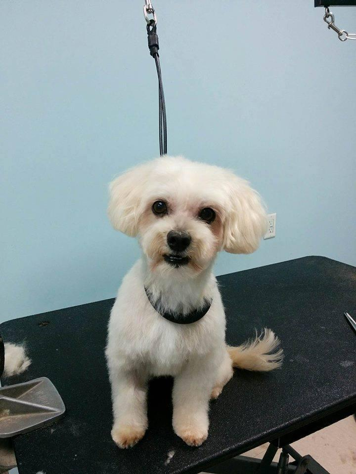Parker, an adopted Maltese & Poodle Mix in Ottawa, ON