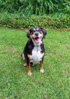 Black and Tan Coonhound Dog: Cooper