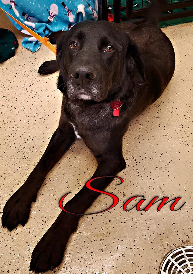 Sam, an adopted Labrador Retriever & German Shorthaired Pointer Mix in ONeill, NE