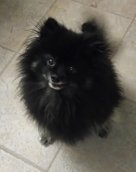 Dog For Adoption Peppy A Pomeranian In North York On