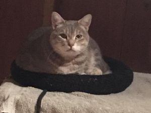 Lois Domestic Medium Hair Cat