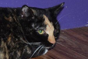 Bella Domestic Short Hair Cat