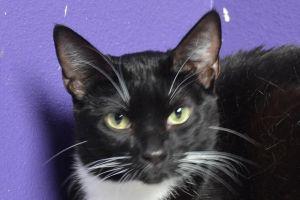 Mia Domestic Short Hair Cat
