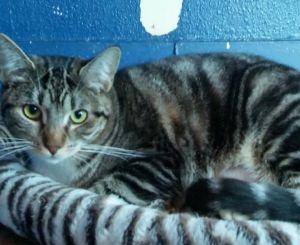 Holden Tabby Cat