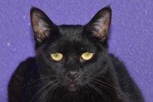 Striker Domestic Short Hair Cat