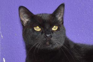 Midnight Domestic Short Hair Cat