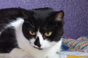 Pebbles Tuxedo Cat