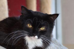 Astro Domestic Long Hair Cat