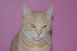 Hobbes Tabby Cat