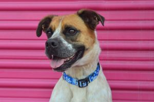 Lucky Jake Australian Shepherd Dog