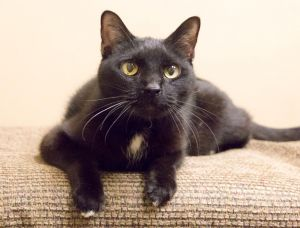 Bob Black just arrived His bio is coming soon Bob Black is a very sweet kitty who was born in