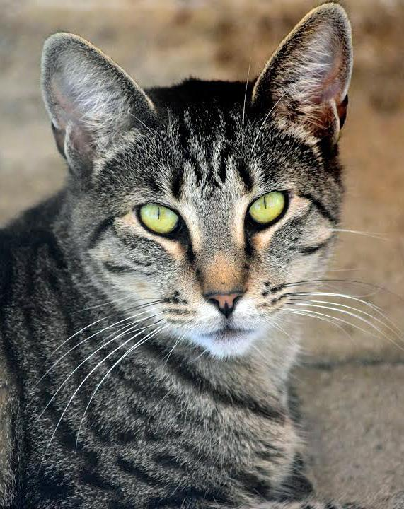 Ashlee, an adoptable Tabby & Domestic Short Hair Mix in Palo Cedro, CA