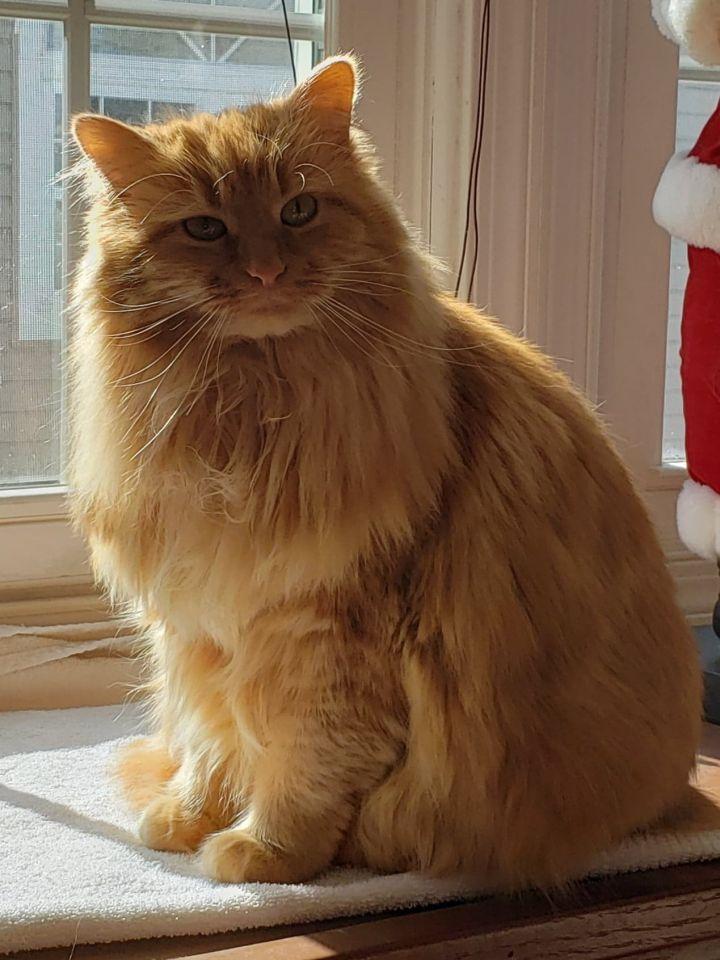 Image result for tabby cat long hair