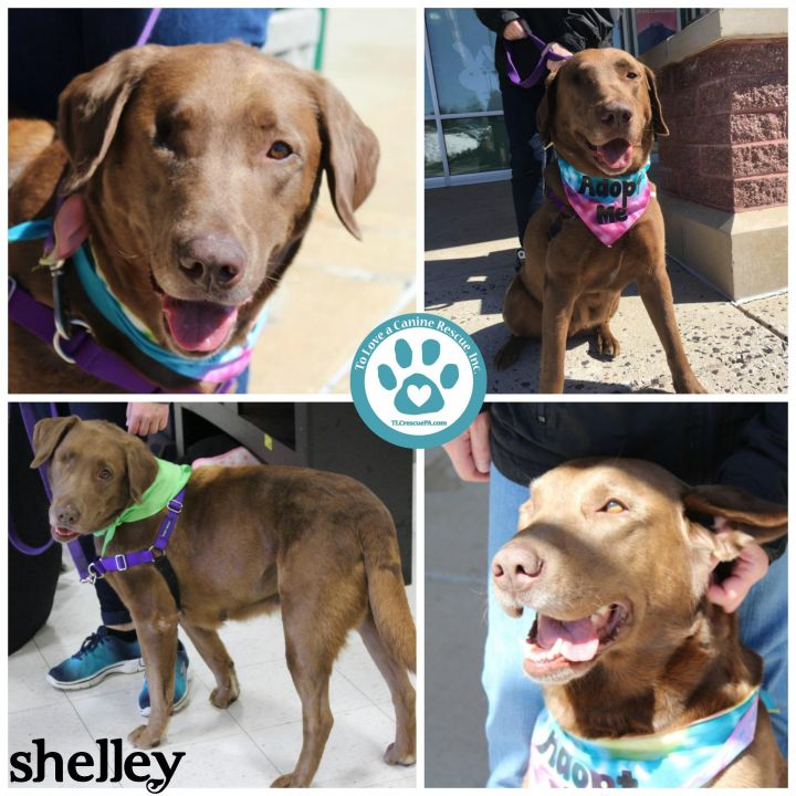 Shelley, an adopted Labrador Retriever Mix in Kimberton, PA