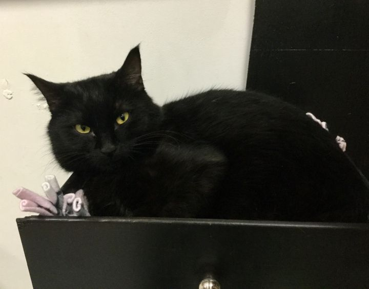 Raven, an adoptable Domestic Medium Hair in Tallahassee, FL