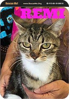 Meet Remi Remi is an American shorthair DSH brown tabby  white She was born around 252016 She